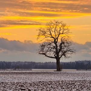 Single Oak Tree in frozen Fields  at Sunset